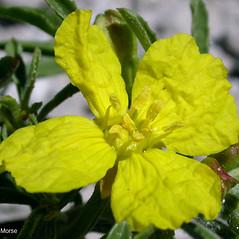 Flowers: Oenothera serrulata. ~ By Keir Morse. ~ Copyright © 2020 Keir Morse. ~ www.keiriosity.com ~ www.keiriosity.com