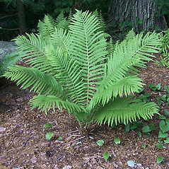 Plant form: Matteuccia struthiopteris. ~ By Bruce Patterson. ~ Copyright © 2021 Bruce Patterson. ~ foxpatterson[at]comcast.net
