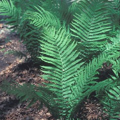 Plant form: Matteuccia struthiopteris. ~ By Dorothy Long. ~ Copyright © 2021 New England Wild Flower Society. ~ Image Request, images[at]newenglandwild.org