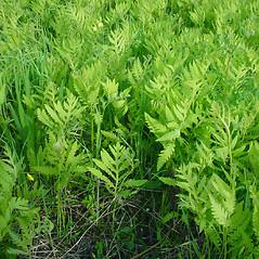 Plant form: Onoclea sensibilis. ~ By Glen Mittelhauser. ~ Copyright © 2020 Glen Mittelhauser. ~ www.mainenaturalhistory.org
