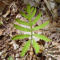 Leaf: Onoclea sensibilis. ~ By Arthur Haines. ~ Copyright © 2021. ~ arthurhaines[at]wildblue.net