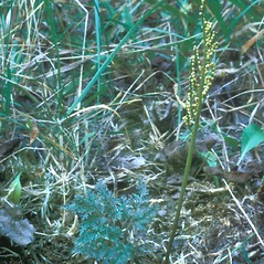 Plant form: Botrychium dissectum. ~ By Frank Bramley. ~ Copyright © 2021 New England Wild Flower Society. ~ Image Request, images[at]newenglandwild.org