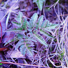 Leaf: Botrychium dissectum. ~ By Arthur Haines. ~ Copyright © 2021. ~ arthurhaines[at]wildblue.net