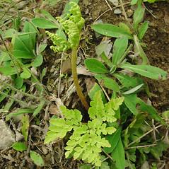 Plant form: Botrychium multifidum. ~ By Glen Mittelhauser. ~ Copyright © 2020 Glen Mittelhauser. ~ www.mainenaturalhistory.org