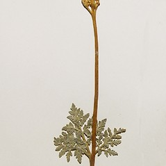 Plant form: Botrychium rugulosum. ~ By Arthur Haines. ~ Copyright © 2020. ~ arthurhaines[at]wildblue.net