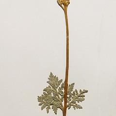 Plant form: Botrychium rugulosum. ~ By Arthur Haines. ~ Copyright © 2021 Arthur Haines. ~ arthur.d.haines[at]gmail.com