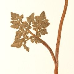 Leaf: Botrychium rugulosum. ~ By Harvard University Herbaria. ~ Copyright © 2020 Harvard University Herbaria. ~ Requests for image use not currently accepted by copyright holder ~ Harvard U. Herbaria
