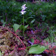 Plant form: Amerorchis rotundifolia. ~ By Arthur Haines. ~ Copyright © 2020. ~ arthurhaines[at]wildblue.net