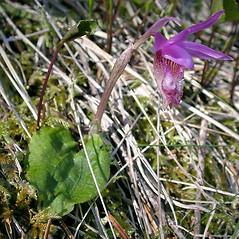 Plant form: Calypso bulbosa. ~ By Keir Morse. ~ Copyright © 2020 Keir Morse. ~ www.keiriosity.com ~ www.keiriosity.com