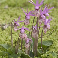 Inflorescences: Calypso bulbosa. ~ By Rod Gilbert. ~ Copyright © 2021 Rod Gilbert. ~ Requests for image use not currently accepted by copyright holder ~ U. of Washington - WTU - Herbarium - biology.burke.washington.edu/herbarium/imagecollection.php