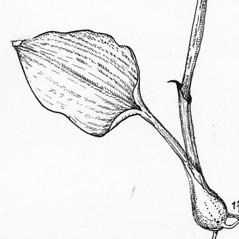 Leaves: Calypso bulbosa. ~ By Tess Feltes. ~  Public Domain. ~  ~ U. of New Hampshire
