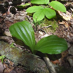 Leaves: Cypripedium acaule. ~ By Donald Cameron. ~ Copyright © 2021 Donald Cameron. ~ No permission needed for non-commercial uses, with proper credit