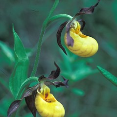 Inflorescences: Cypripedium parviflorum. ~ By Dorothy Long. ~ Copyright © 2020 New England Wild Flower Society. ~ Image Request, images[at]newenglandwild.org