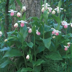 Plant form: Cypripedium reginae. ~ By Dorothy Long. ~ Copyright © 2020 New England Wild Flower Society. ~ Image Request, images[at]newenglandwild.org