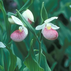 Inflorescences: Cypripedium reginae. ~ By John Lynch. ~ Copyright © 2020 New England Wild Flower Society. ~ Image Request, images[at]newenglandwild.org