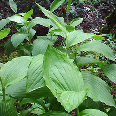 Leaves: Cypripedium reginae. ~ By Glen Mittelhauser. ~ Copyright © 2020 Glen Mittelhauser. ~ www.mainenaturalhistory.org