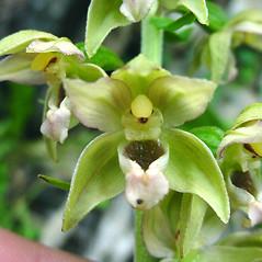 Flowers: Epipactis helleborine. ~ By Glen Mittelhauser. ~ Copyright © 2020 Glen Mittelhauser. ~ www.mainenaturalhistory.org