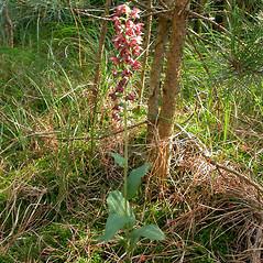 Plant form: Epipactis helleborine. ~  ~ Copyright © 2020. ~