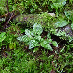 Plant form: Goodyera repens. ~ By Arthur Haines. ~ Copyright © 2021. ~ arthurhaines[at]wildblue.net