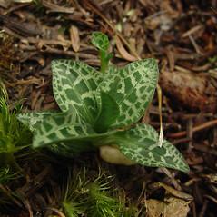 Plant form: Goodyera repens. ~ By Glen Mittelhauser. ~ Copyright © 2020 Glen Mittelhauser. ~ www.mainenaturalhistory.org