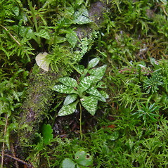 Leaves: Goodyera repens. ~ By Donald Cameron. ~ Copyright © 2021 Donald Cameron. ~ No permission needed for non-commercial uses, with proper credit