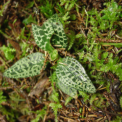 Leaves: Goodyera repens. ~ By Glen Mittelhauser. ~ Copyright © 2020 Glen Mittelhauser. ~ www.mainenaturalhistory.org