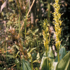 Inflorescences: Liparis loeselii. ~ By Frank Bramley. ~ Copyright © 2021 New England Wild Flower Society. ~ Image Request, images[at]newenglandwild.org