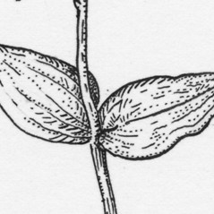 Leaves: Neottia bifolia. ~ By Tess Feltes. ~  Public Domain. ~  ~ U. of New Hampshire
