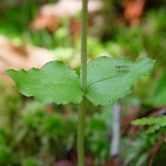 Leaves: Neottia cordata. ~ By Arthur Haines. ~ Copyright © 2020. ~ arthurhaines[at]wildblue.net