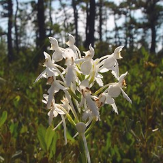Flowers: Platanthera blephariglottis. ~ By Arthur Haines. ~ Copyright © 2020. ~ arthurhaines[at]wildblue.net
