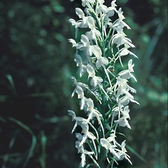 Inflorescences: Platanthera blephariglottis. ~ By John Lynch. ~ Copyright © 2020 New England Wild Flower Society. ~ Image Request, images[at]newenglandwild.org