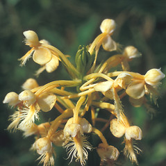 Flowers: Platanthera ciliaris. ~ By Frank Bramley. ~ Copyright © 2020 New England Wild Flower Society. ~ Image Request, images[at]newenglandwild.org