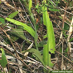 Leaves: Platanthera ciliaris. ~ By Jeffrey S. Pippen. ~ Copyright © 2020 Jeffrey S. Pippen. ~ jspippen[at]duke.edu ~ Jeff's Plant Page - www.duke.edu/~jspippen/plants/plants.htm