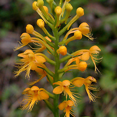 Inflorescences: Platanthera cristata. ~ By David G. Smith. ~ Copyright © 2020. ~ dgsmith3[at]gmail.com ~ Delaware Wildflowers - delawarewildflowers.org/