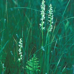 Plant form: Platanthera dilatata. ~ By Arieh Tal. ~ Copyright © 2020 Arieh Tal. ~ http://botphoto.com/ ~ Arieh Tal - botphoto.com
