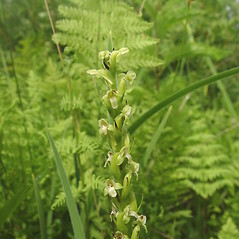 Inflorescences: Platanthera flava. ~ By Donald Cameron. ~ Copyright © 2020 Donald Cameron. ~ No permission needed for non-commercial uses, with proper credit