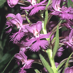 Plant form: Platanthera grandiflora. ~ By Paul and Gray Wexelblat. ~ Copyright © 2021 Paul and Gray Wexelblat. ~ wex[at]wildflower-photo.com ~ Wex
