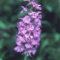 Inflorescences: Platanthera grandiflora. ~ By Adelaide Pratt. ~ Copyright © 2021 New England Wild Flower Society. ~ Image Request, images[at]newenglandwild.org