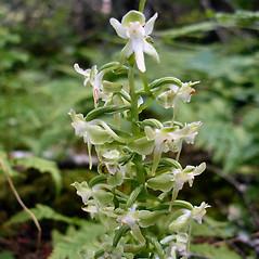 Inflorescences: Platanthera orbiculata. ~ By Jill Weber. ~ Copyright © 2021 Jill Weber. ~ jillweber03[at]gmail.com