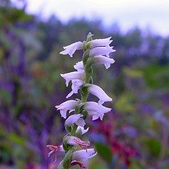 Flowers: Spiranthes casei. ~ By Arthur Haines. ~ Copyright © 2020. ~ arthurhaines[at]wildblue.net