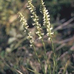 Inflorescences: Spiranthes cernua. ~ By Frank Bramley. ~ Copyright © 2020 New England Wild Flower Society. ~ Image Request, images[at]newenglandwild.org