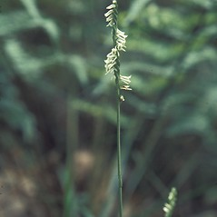 Inflorescences: Spiranthes lacera. ~ By John Lynch. ~ Copyright © 2020 New England Wild Flower Society. ~ Image Request, images[at]newenglandwild.org