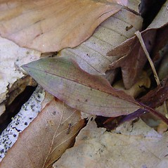 Leaves: Tipularia discolor. ~ By Arthur Haines. ~ Copyright © 2021. ~ arthurhaines[at]wildblue.net