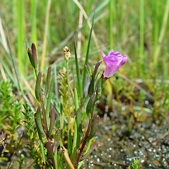 Plant form: Agalinis maritima. ~ By Arthur Haines. ~ Copyright © 2020. ~ arthurhaines[at]wildblue.net
