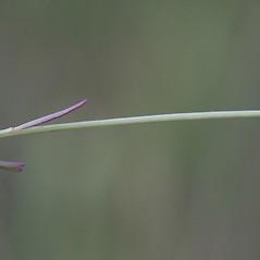 Stems: Agalinis maritima. ~ By John Gwaltney. ~ Copyright © 2021 John Gwaltney. ~ southeasternflora.com ~ Southeastern Flora - www.southeasternflora.com/