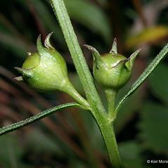 Stems: Agalinis purpurea. ~ By Keir Morse. ~ Copyright © 2021 Keir Morse. ~ www.keiriosity.com ~ www.keiriosity.com