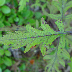 Leaves: Aureolaria flava. ~ By Arthur Haines. ~ Copyright © 2020. ~ arthurhaines[at]wildblue.net