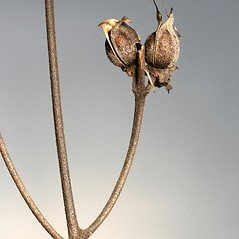 Fruits: Aureolaria virginica. ~ By Arieh Tal. ~ Copyright © 2021 Arieh Tal. ~ http://botphoto.com/ ~ Arieh Tal - botphoto.com