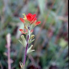 Flowers: Castilleja coccinea. ~ By Carol Levine. ~ Copyright © 2021 Carol Levine. ~ carolflora[at]optonline.net
