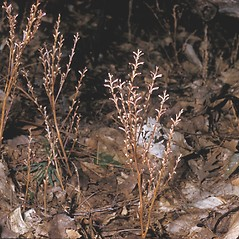 Plant form: Epifagus virginiana. ~ By Frank Bramley. ~ Copyright © 2020 New England Wild Flower Society. ~ Image Request, images[at]newenglandwild.org